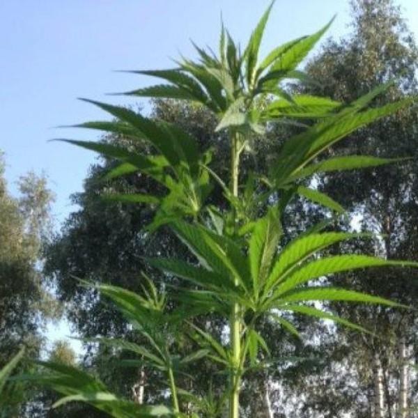 Hanfernte – Hanfpflanze