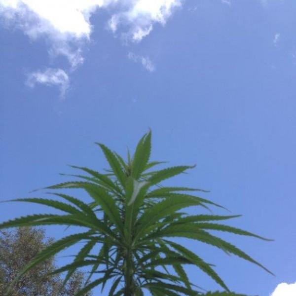 Hanfernte – Pflanze beim gedeihen