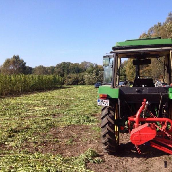 Hanfernte – Bereit für die Ernte