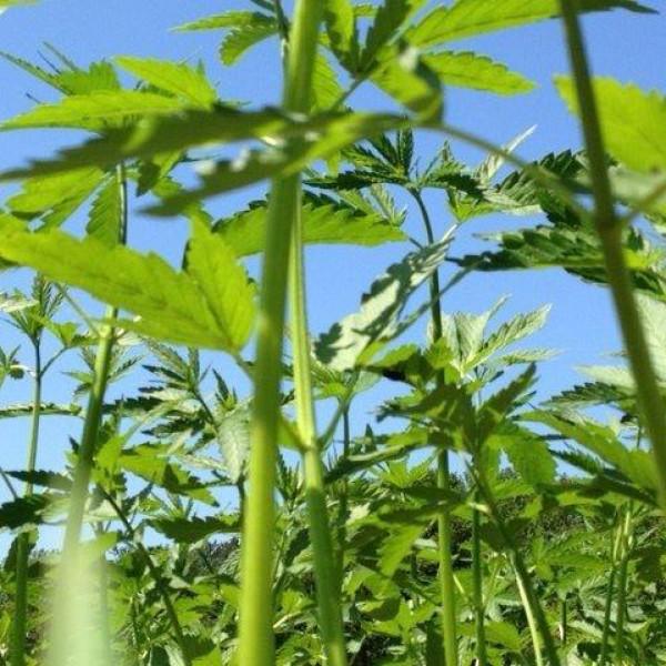 Hanfernte – Hanfpflanzen und blauer Himmel